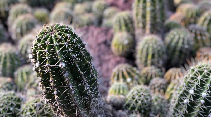 7 Facts Everyone Should Know About Peyote Cactus Seeds