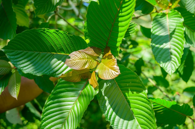 6 Kratom Strains To Increase Your Productivity At Workplace